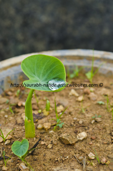 Colocasia antiquorum seedling and water droplet
